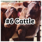 cattle6