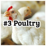 poultry3